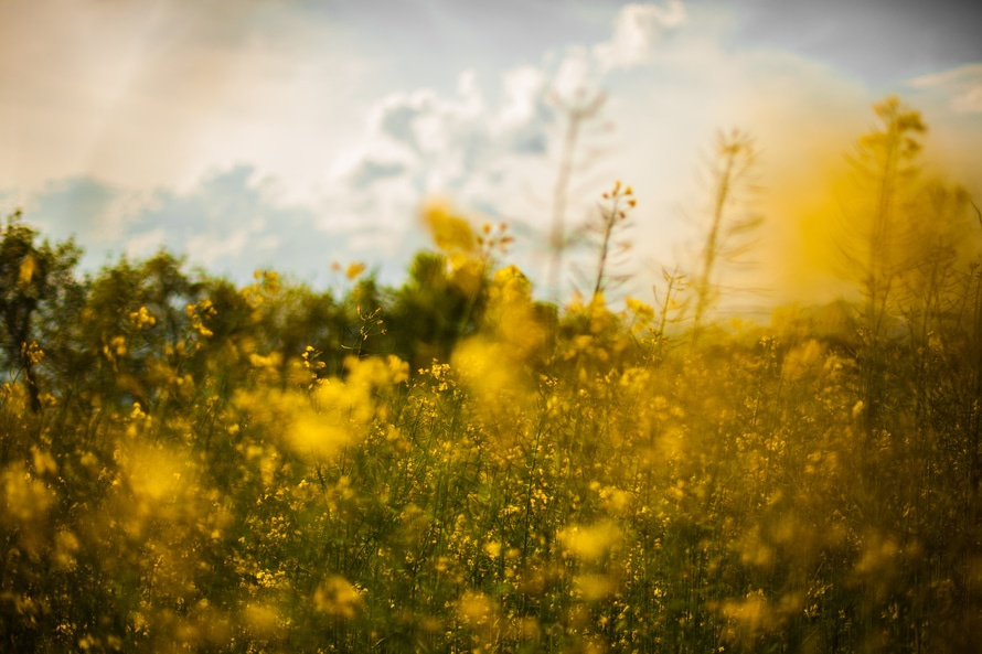 nature-field-flowers-yellow-large