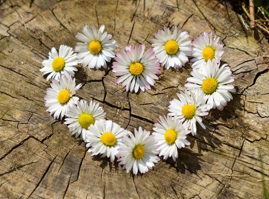 daisy-heart-flowers-flower-heart-large