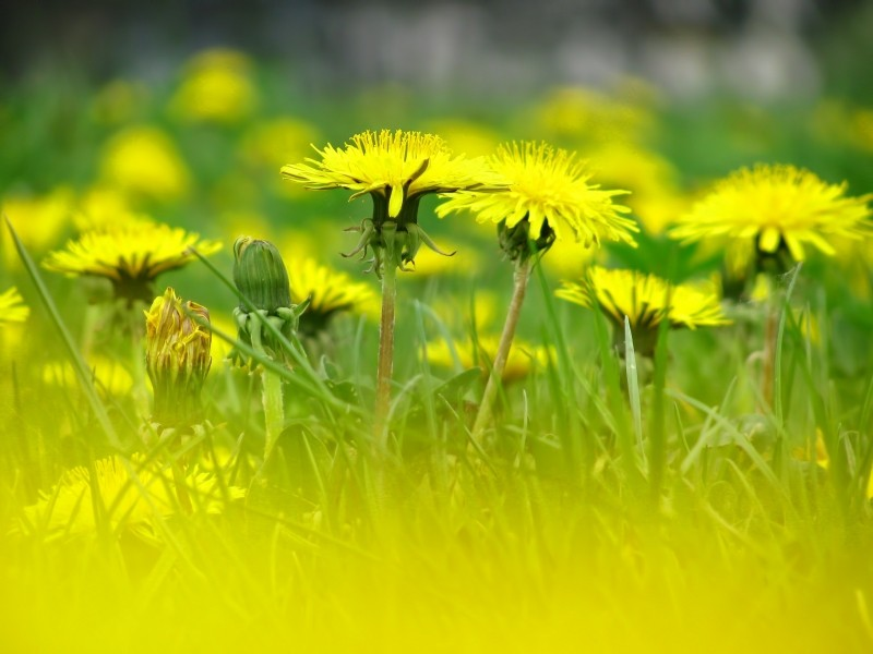 dandelion-flower-blossoms-meadow-spring-nature