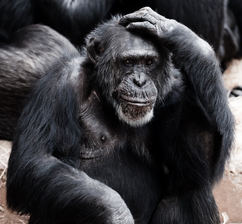 animal-ape-black-clever-face-hands-intelligence