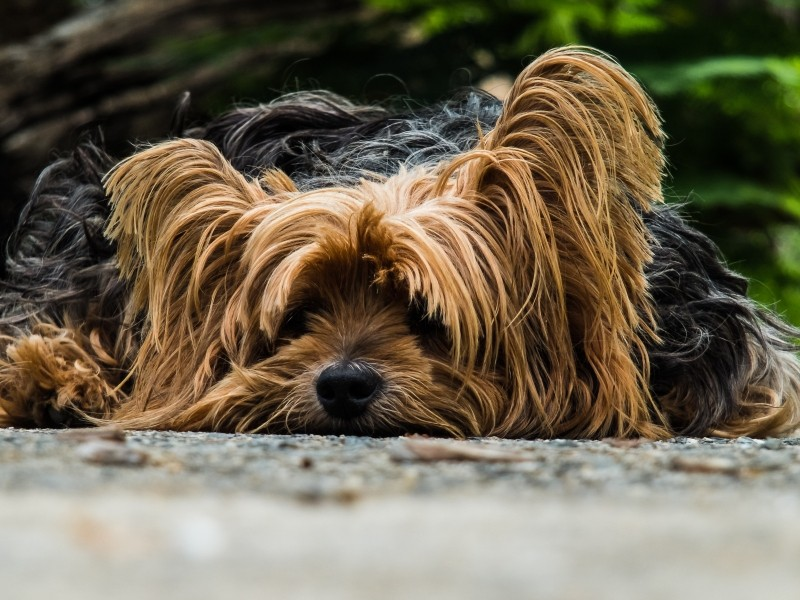 dog-yorkshire-terrier-lazy-dog