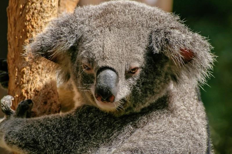 portrait-of-koala-bear